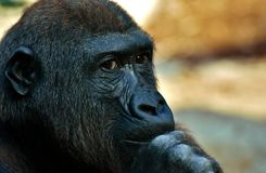 Great Ape, Face, Western Gorilla, Fauna royalty free stock images
