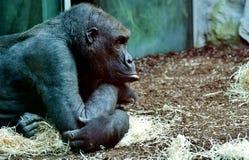 Great Ape, Fauna, Mammal, Chimpanzee