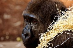 Great Ape, Fauna, Primate, Western Gorilla royalty free stock photo
