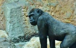 Great Ape, Fauna, Western Gorilla, Primate stock image