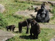 Great Ape, Fauna, Western Gorilla, Primate royalty free stock image