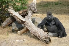 Great Ape, Fauna, Western Gorilla, Primate stock photography