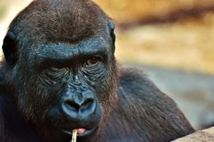 Great Ape, Mammal, Western Gorilla, Fauna royalty free stock photos