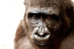 Great Ape, Mammal, Western Gorilla, Fauna stock photography
