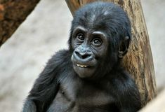 Great Ape, Mammal, Western Gorilla, Primate royalty free stock photos