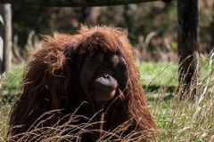 Great Ape - Orangutan sitting in a field Royalty Free Stock Photo