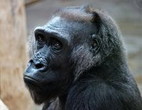 Great Ape, Western Gorilla, Fauna, Primate royalty free stock photography