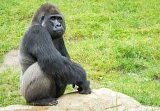 Great Ape, Western Gorilla, Fauna, Primate royalty free stock image