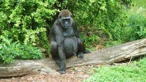 Great Ape, Western Gorilla, Fauna, Primate royalty free stock photos