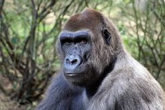 Great Ape, Western Gorilla, Mammal, Fauna royalty free stock photo
