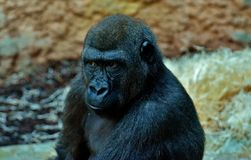 Great Ape, Western Gorilla, Mammal, Fauna stock images