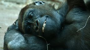 Great Ape, Western Gorilla, Mammal, Primate royalty free stock photo