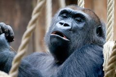 Great Ape, Western Gorilla, Mammal, Primate royalty free stock photography