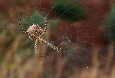 Great argiope argentata behind the cobweb Stock Photos