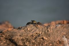 Aruba Grey Swimming Crab on a Rock Boulder. Great Aruba grey swimming crab on a rocky boulder Royalty Free Stock Photos