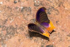 Great Assyrian butterfly Royalty Free Stock Images