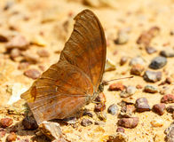 The great assyrian butterfly on ground Royalty Free Stock Images