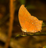 The great assyrian butterfly on leaf Royalty Free Stock Images