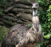 Great Australian emu with orange iris Stock Image