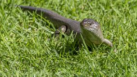 Great Australian lizard raises its head from the grass and looks threateningly, Western Australia stock photo