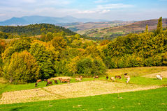 Great autumnal countryside in mountains. Cows grazing on rural fields near the forest with colorful foliage Stock Photos