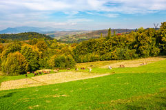 Great autumnal rural area in mountains. Cows grazing on rural fields near the forest with colorful foliage royalty free stock photo