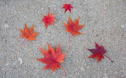 Great background photo with 6 bright red japanese maple leaves. royalty free stock image