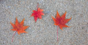 Great background photo with three bright red japanese maple leaves on a sidewalk. royalty free stock photography