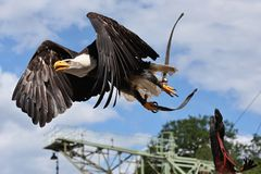 Great bald eagle fly against the blue sky from his master Stock Photography