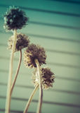 Scabiosa Blooms Pods Royalty Free Stock Photos