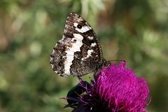Great Banded Grayling butterfly Royalty Free Stock Photo