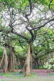 Great banyan tree, Howrah, West Bengal, India Stock Photos