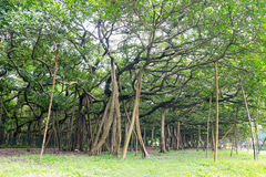 Great banyan tree, Howrah, West Bengal, India Royalty Free Stock Photo