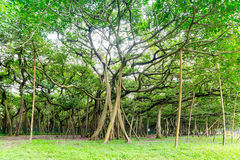 Great banyan tree, Howrah, West Bengal, India Royalty Free Stock Photography