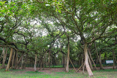 Great banyan tree, Howrah, West Bengal, India. The Great Banyan is a banyan tree Ficus benghalensis located in Acharya Jagadish Chandra Bose Indian Botanic Stock Photos