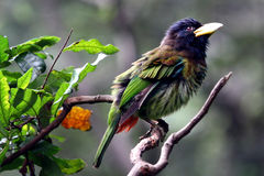 Bird - Great Barbet. A colorful bird, Great Barbet, look like thinking on a tree branch.  Photo was taken on Hong Kong Park Royalty Free Stock Image