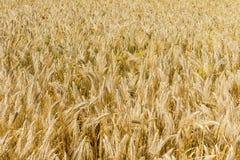 Great Barley Field Stock Photos