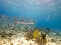 Great Barracuda and Bigeye scad 02 Royalty Free Stock Photo