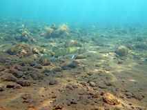Great Barracuda fish in ocean Bali. The Great Barracuda fish in ocean Bali Royalty Free Stock Photos
