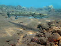 Great Barracuda fish in ocean Bali Royalty Free Stock Images