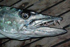 Great barracuda with sharp teeth Stock Photography