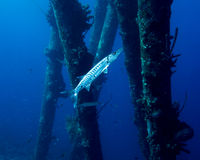 Great Barracuda Stock Photos