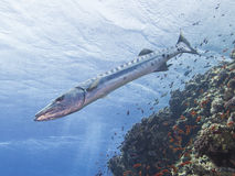 Great barracuda on a tropical reef Stock Photo
