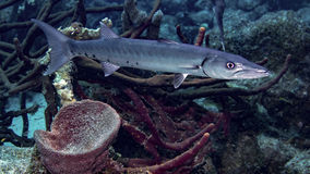 Great Barracuda Royalty Free Stock Photo