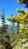 The Great Barrier Blurs. Close up of a pine tree on the hike up to Garibaldi Lake Royalty Free Stock Photo