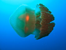 Great Barrier Reef Australia. Sideview of Box Jellyfish on Great Barrier Reef Australia royalty free stock images