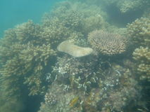 Great Barrier Reef. In Australia Royalty Free Stock Photography
