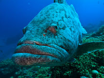 Great Barrier Reef Australia Giant Potato Cod. Giant Potato cod (Epinephelus tukula) Great Barrier Reef Australia stock photography