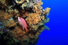 Great Barrier Reef. Beautiful soft corals and red fish underwater in the Great Barrier Reef of Australia stock photo