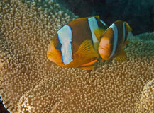 Great barrier reef clown fishesnemo and his father. Great barrier reef clown fish (Nemo Stock Image